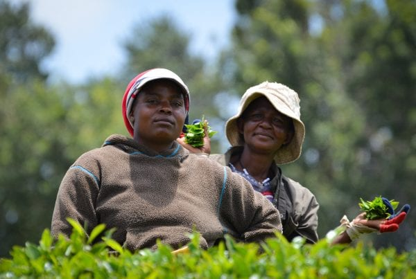 Travel Tribe Africa - Picking tea in Limuru, Kenya